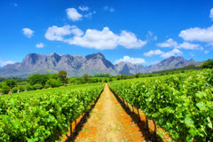 Vineyards against awesome mountains royalty free stock image