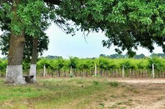 Vineyards. Bench under big tree Stock Images