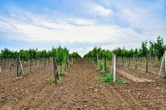 Vineyards. Agriculture in Taman. Royalty Free Stock Photo