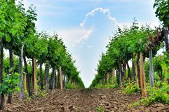 Vineyards. Agriculture in Taman. Royalty Free Stock Images