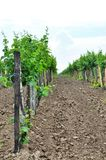 Vineyards. Agriculture in Taman. Stock Photos