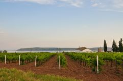 Vineyards. Agriculture in Taman. Royalty Free Stock Photos