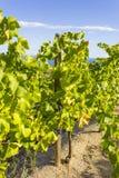 Alella vineyards in the Spanish region of Catalonia. Vineyards of the Alella wine region near the Mediterranean Sea in Catalonia, Spain royalty free stock image