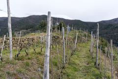 Vineyards along the Cinque Terre trail Stock Images