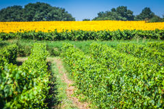 The vineyards along the famous wine route in Alsace, France.  Royalty Free Stock Images