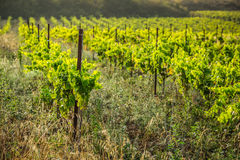 The vineyards along the famous wine route in Alsace, France.  Stock Image