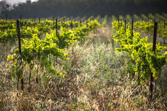The vineyards along the famous wine route in Alsace, France.  Stock Images