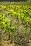The vineyards along the famous wine route in Alsace, France.  Stock Photo