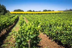 The vineyards along the famous wine route in Alsace, France.  Royalty Free Stock Photo