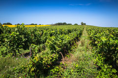 The vineyards along the famous wine route in Alsace, France.  Royalty Free Stock Image