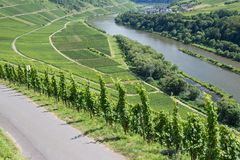 Vineyards along the Germanriver Moselle royalty free stock photo