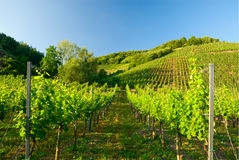 Vineyards along the mosel Stock Images