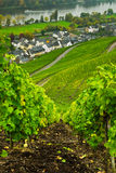 Vineyards  along the mosel Royalty Free Stock Image