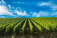 Vineyards along the Moselle river, Luxembourg Stock Photography