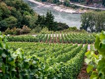 Vineyards along the Rheinsteig trail in Germany by the Rhine Riv royalty free stock image