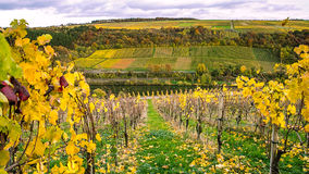Vineyards along River Moselle in Luxembourg. The vineyards in autmn colors along the River Moselle in Luxembourg royalty free stock images