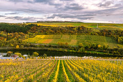 Vineyards along River Moselle in Luxembourg. The vineyards in autmn colors along the River Moselle in Luxembourg stock image
