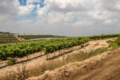Vineyards along Way of the Patriarchs. Israel. Vineyards along Way of the Patriarchs or Way of the Fathers. The name is used in biblical narratives that it was royalty free stock image