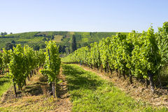 Vineyards of Alsace Royalty Free Stock Photos