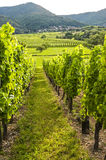 Vineyards in Alsace (France) Stock Photos