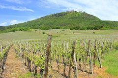 Vineyards in Alsace, France. Vineyards in Alsace, in the background on the mountain the castle Haut Koenigsbourg, France stock photo