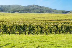 Vineyards by Alsace Stock Image