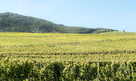 Vineyards by Alsace Royalty Free Stock Photos