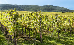 Vineyards by Alsace Stock Images