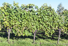 Vineyards by Alsace Stock Photo