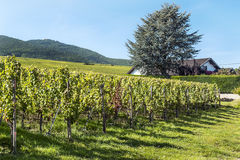 Vineyards by Alsace Royalty Free Stock Image