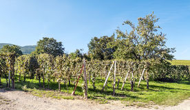 Vineyards of Alsace Royalty Free Stock Photo
