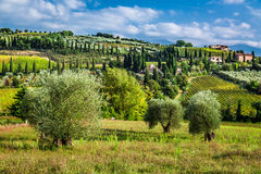 Vineyards  amd olive trees in Tuscany Royalty Free Stock Photo