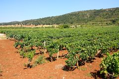 Vineyards in Apulia, Italy Royalty Free Stock Photos