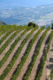 Vineyards around Montalcino and San Antimo Stock Photo