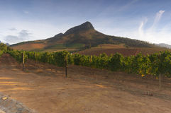 Vineyards around Stellenbosch, Western Cape, South Africa, Afric Royalty Free Stock Photos