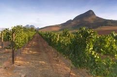 Vineyards around Stellenbosch, Western Cape, South Africa, Afric Royalty Free Stock Photo