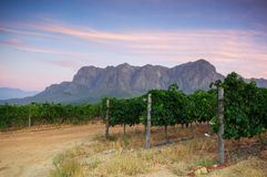 Vineyards around Stellenbosch, Western Cape, South Africa, Afric. Sunset over a vineyard with Table Mountain in the background, Stellenbosch, Cape Winelands Royalty Free Stock Photography