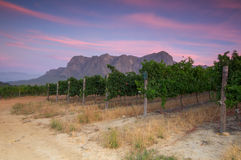 Vineyards around Stellenbosch, Western Cape, South Africa, Afric. Sunset over a vineyard with Table Mountain in the background, Stellenbosch, Cape Winelands Royalty Free Stock Photo