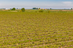 Vineyards arranged in rows Royalty Free Stock Photo