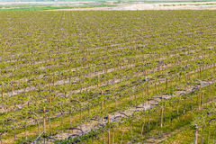 Vineyards arranged in rows Stock Images