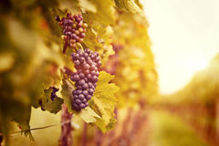 Free Vineyards At Sunset In Autumn Harvest Royalty Free Stock Photos - 43837508