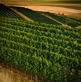 Vineyards in august IV. Nice view of vineyards in august afternoon royalty free stock image