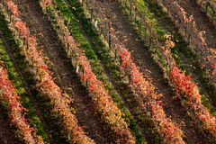Rows of vine lambrusco autumn colors wine festival of grape royalty free stock photo