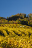 Vineyards in autumn. Swiss vineyards of La Cote, after the harvest, under a clear blue sky. A tiny vineyard worker can be seen to the right of the building, with Royalty Free Stock Photos