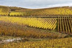 Vineyards in autumn Stock Image