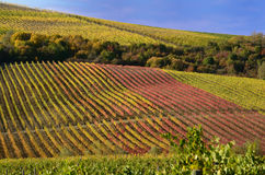 Vineyards in autumn Stock Photography