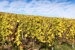 Vineyards in autumn Royalty Free Stock Photography