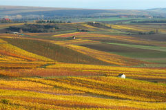 Vineyards in autumn. Royalty Free Stock Image