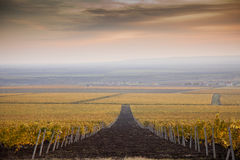 Vineyards in the autumn. With cloudy sky Royalty Free Stock Photos