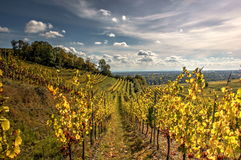 Vineyards in autumn royalty free stock image